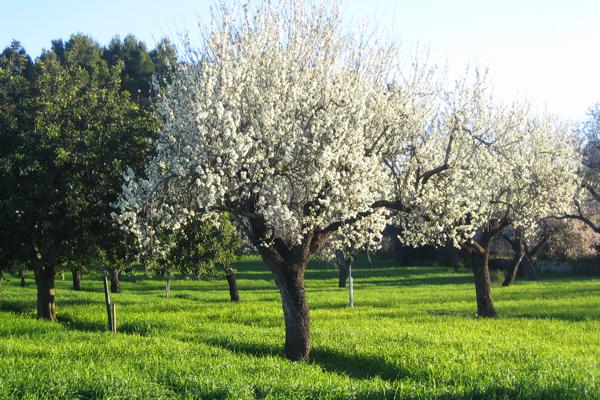 満開の花をつけたマヨルカ島アーモンドの木
