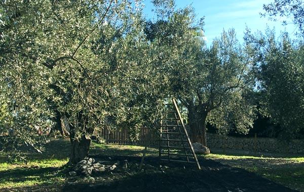 マヨルカ島特産オリーブの木