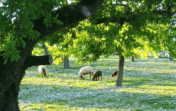 マヨルカの草原と羊